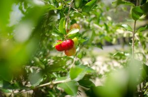 Acerola Cherry, Barbados Cherry Plant Free Shipping – 4″ pot – Established Live Plant Naturally Grown Permaculture Plant